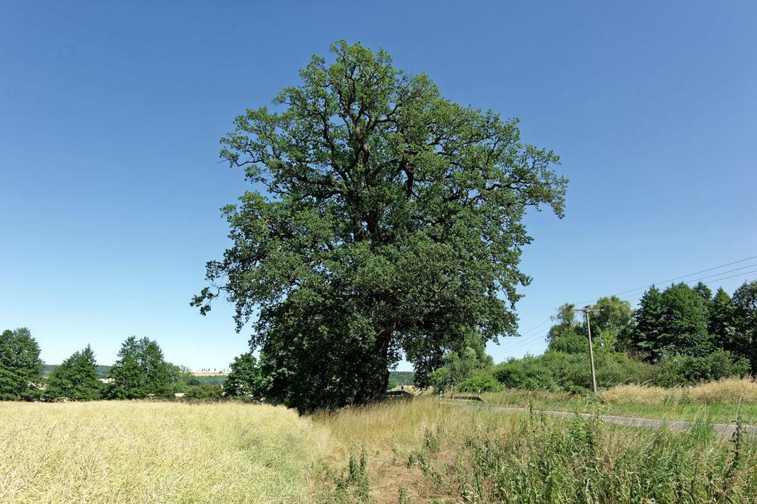 Grenzeiche bei Wohlmirstedt