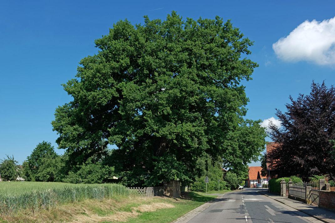 Eiche in Ahstedt