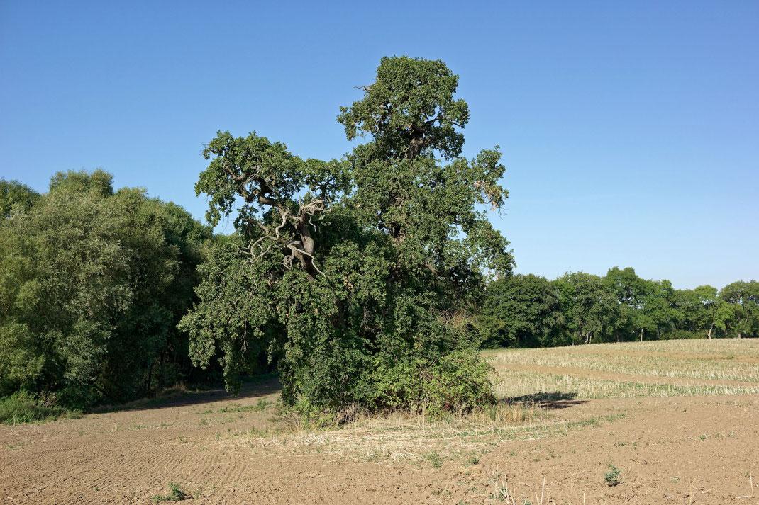 Eiche auf dem Feld bei Ivenack