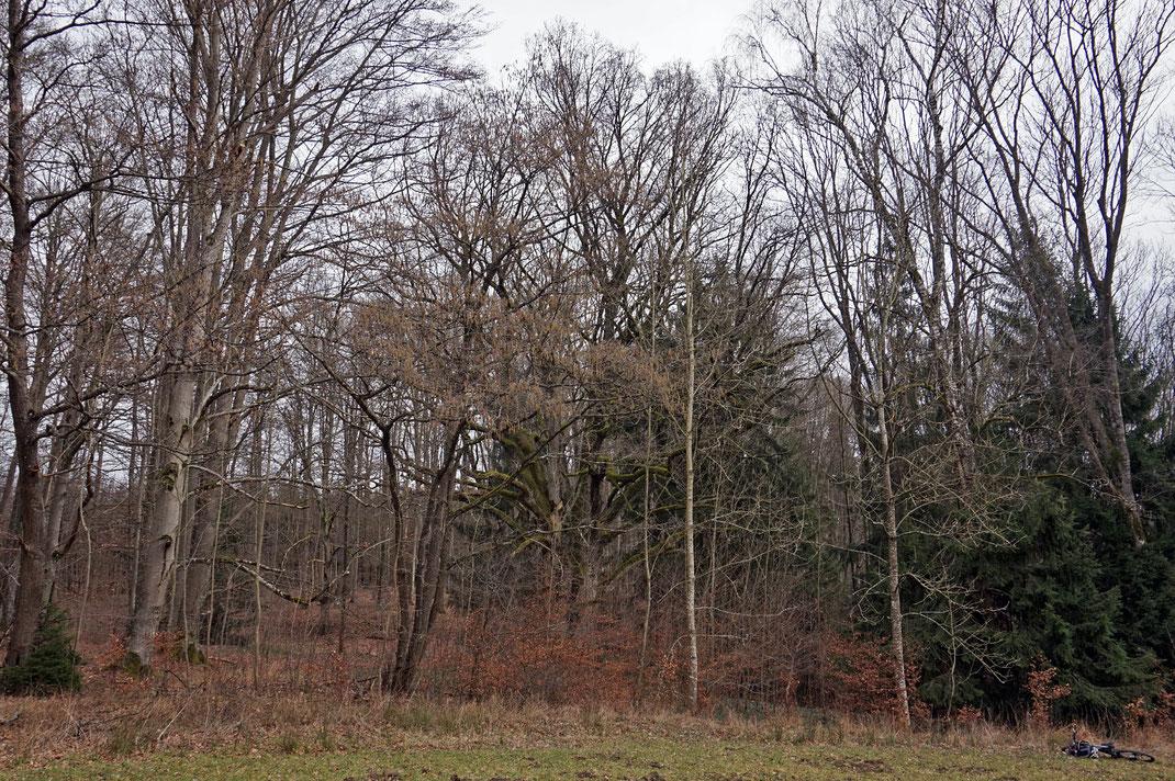 Tausendjährige Eiche bei Schloss Sandsee bei Mischelbach