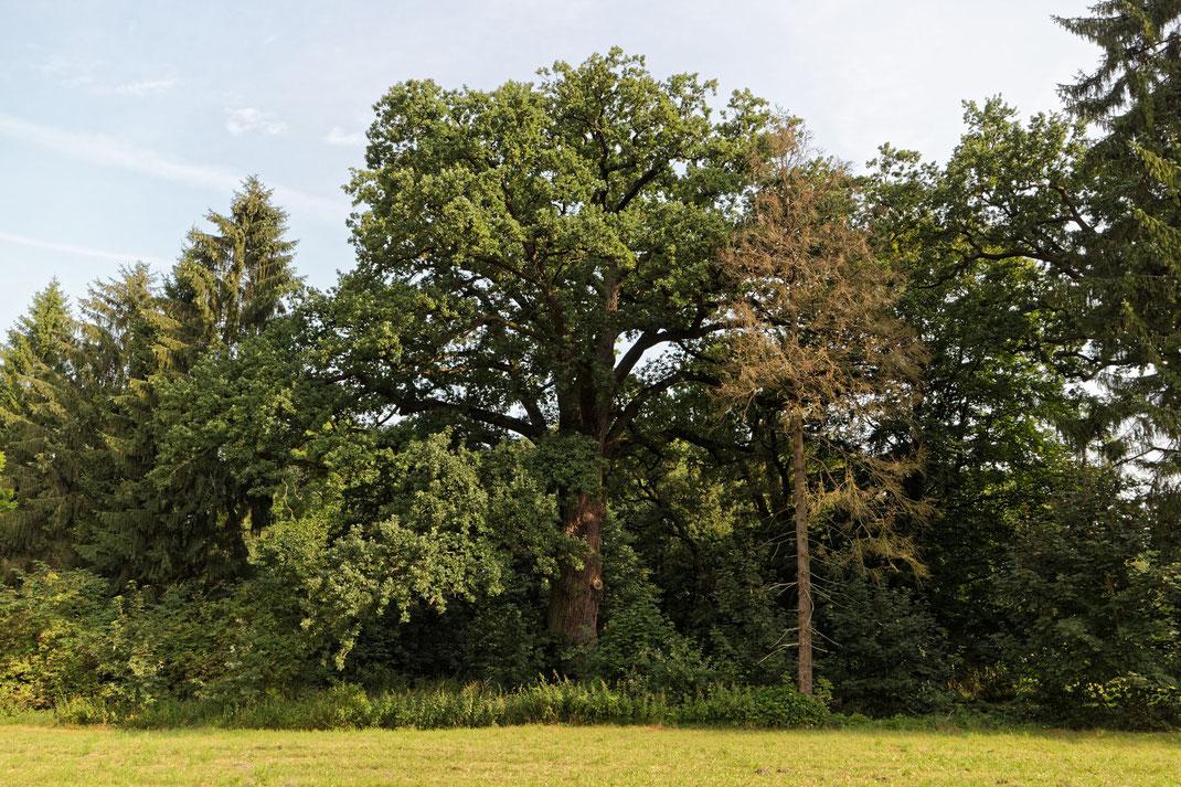 Eiche im ehemaligen Gutspark Mesendorf
