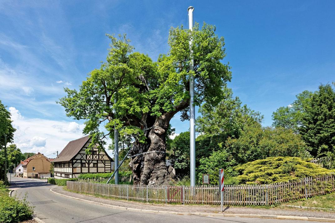 Grabeiche in Nöbdenitz — Brusthöhenumfang 10,35 m (2020)
