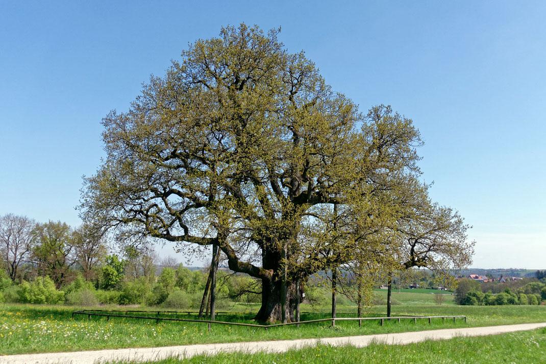 Breiteich bei Gottwollshausen, Umfang, Brusthöhenumfang, Stieleiche, Eiche, Naturdenkmal