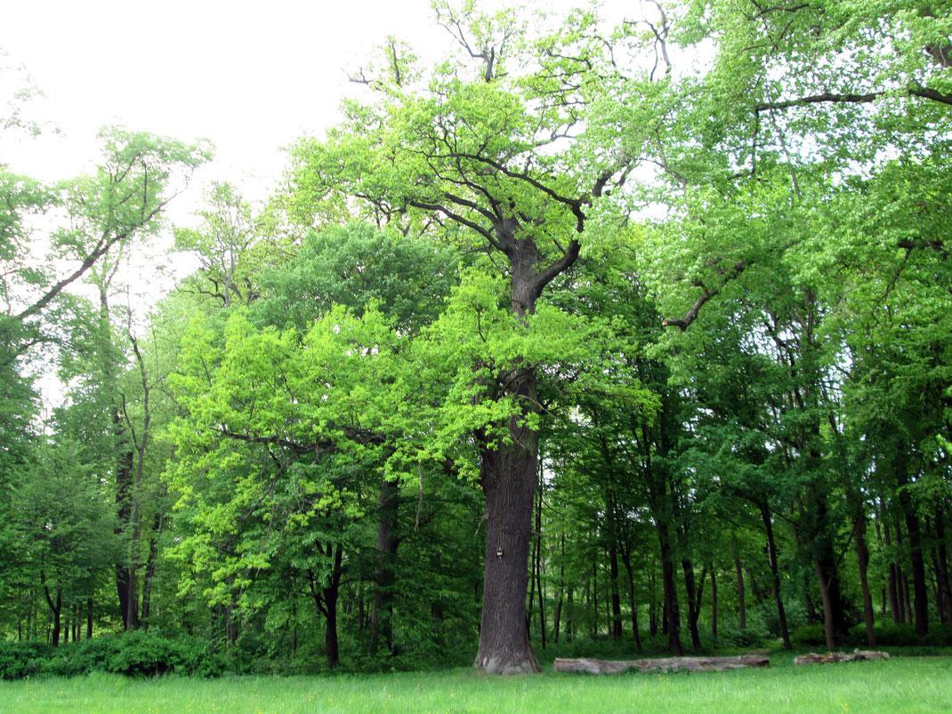 Eiche im Schlosspark Breydin