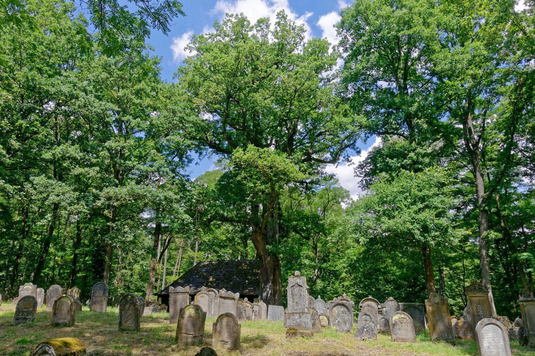 Eiche auf dem Jüdischen Friedhof bei Walsdorf