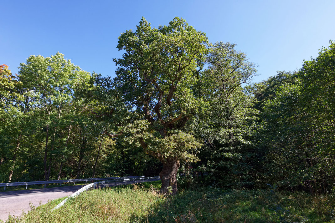 Eiche an der Marienglashöhle bei Friedrichroda