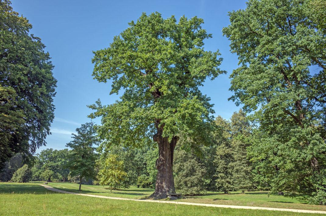 Eiche im Fürst-Pückler-Park in Bad Muskau