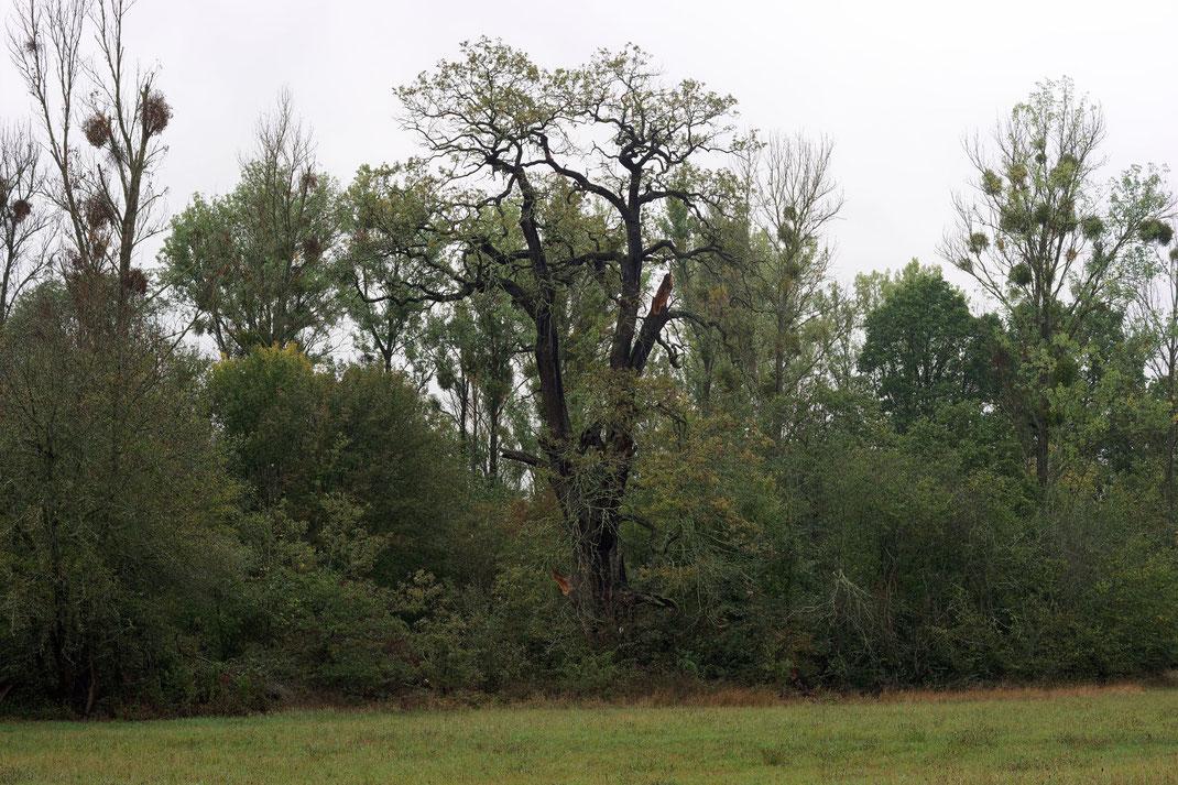 1. Eiche südlich der Pelze bei Dessau