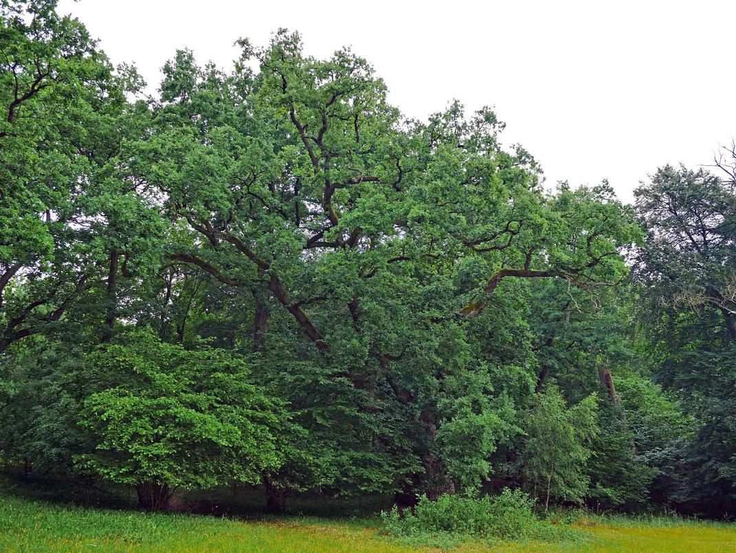 Eiche im Specker Schlosspark bei Speck