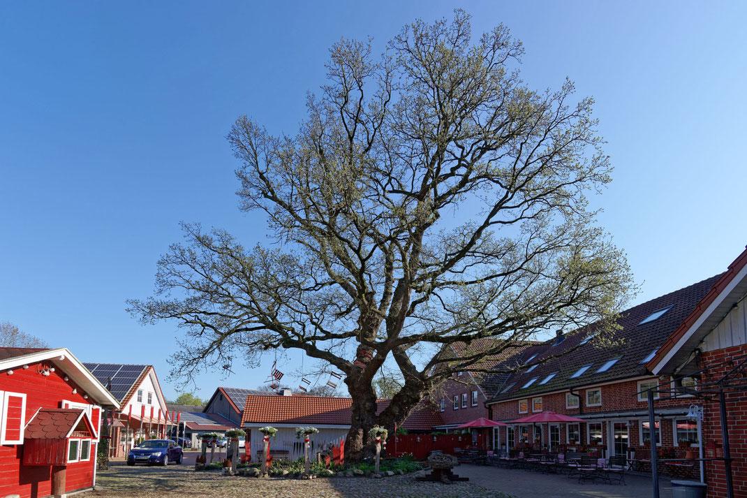 Eiche in Dorfhagen