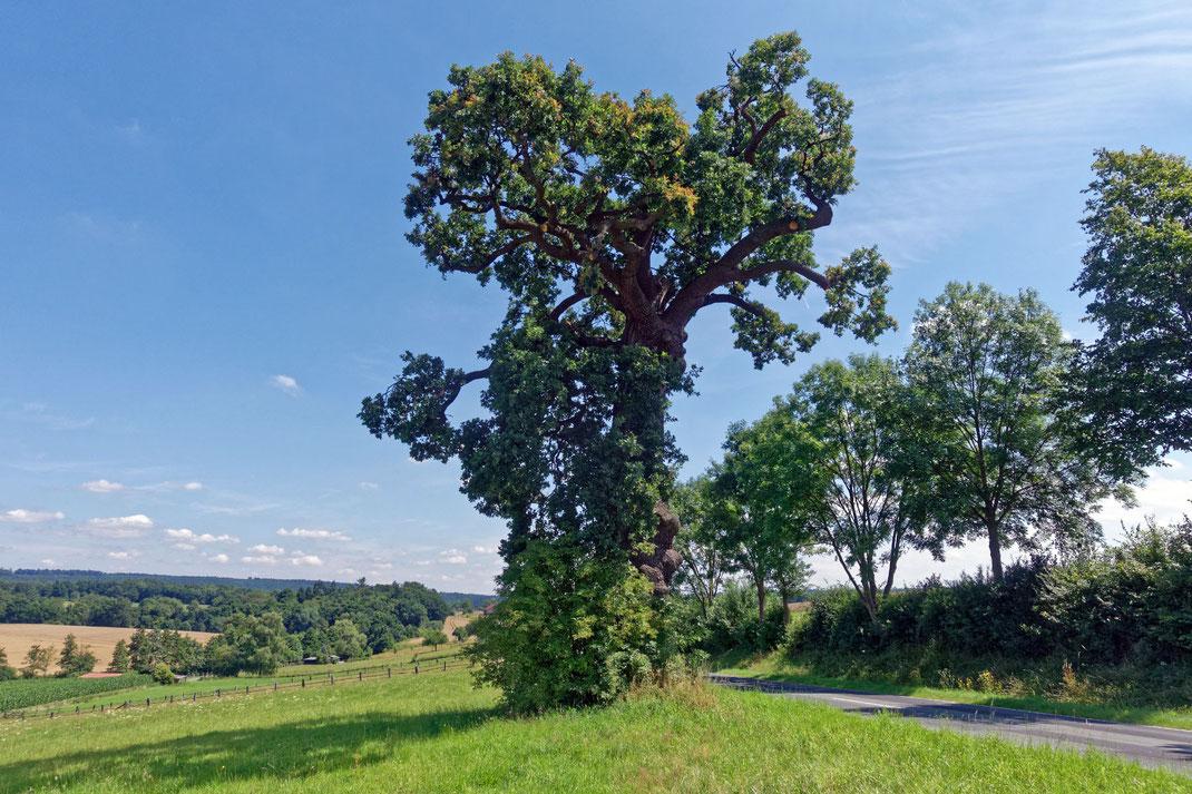 Dicke Eiche bei Helmarshausen