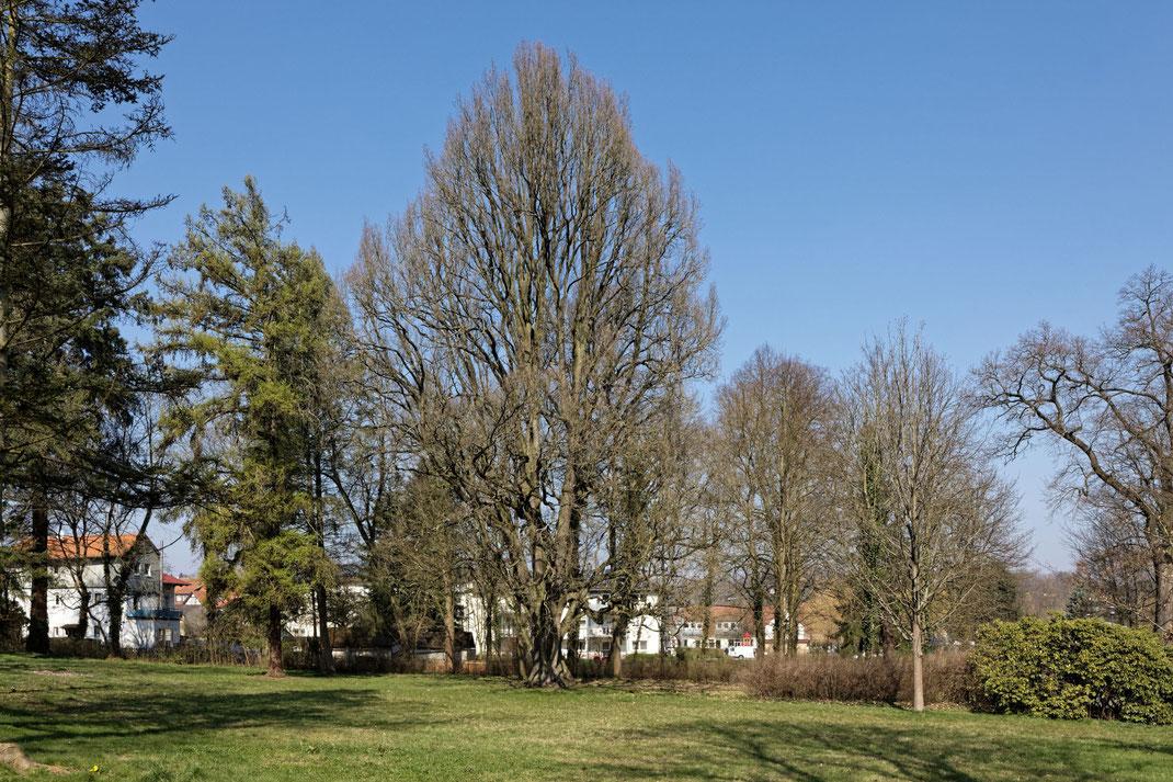 Pyramideneiche in Schlitz