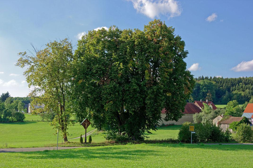 Linde bei Rothenberg