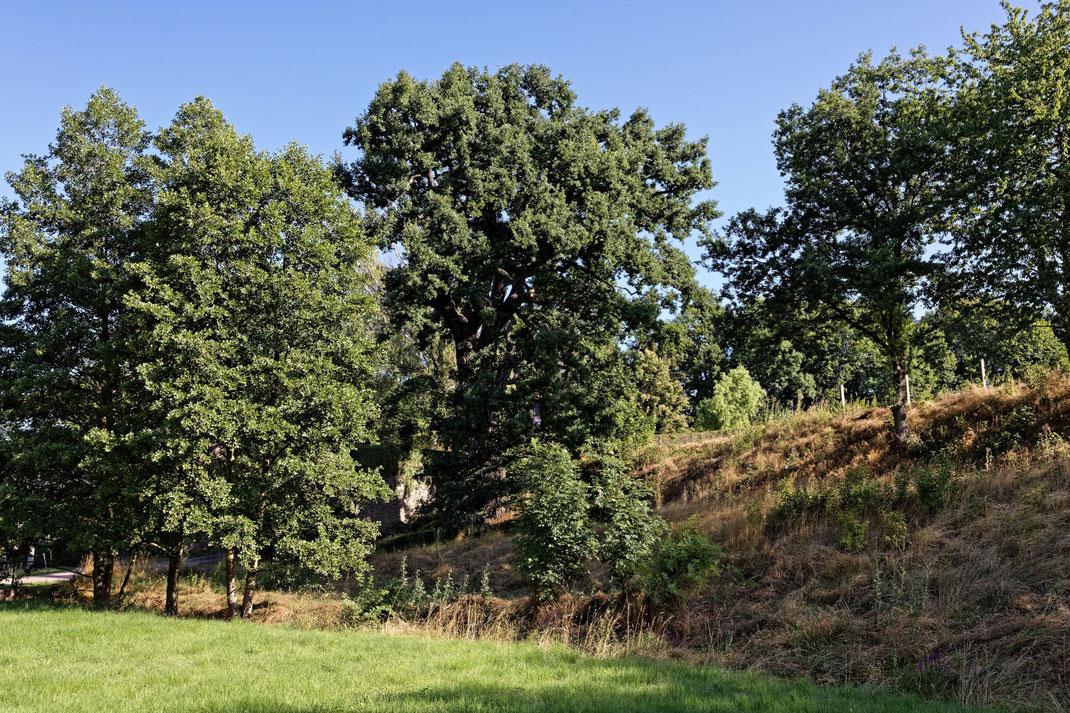 Eiche in Burkhardswalde