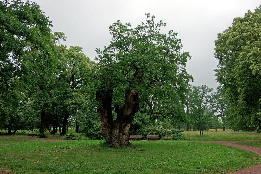 Eiche im Herrenkrugpark in Magdeburg