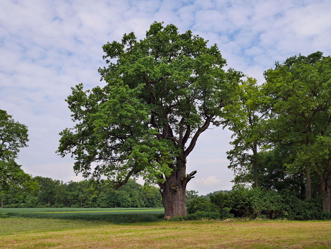 Holzmutter im Gerolfinger Forst bei Gerolfing