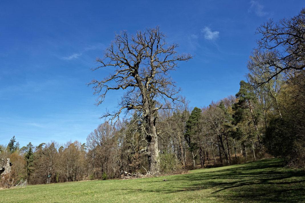 Bernhards-Eiche im Wildtierpark Stuttgart