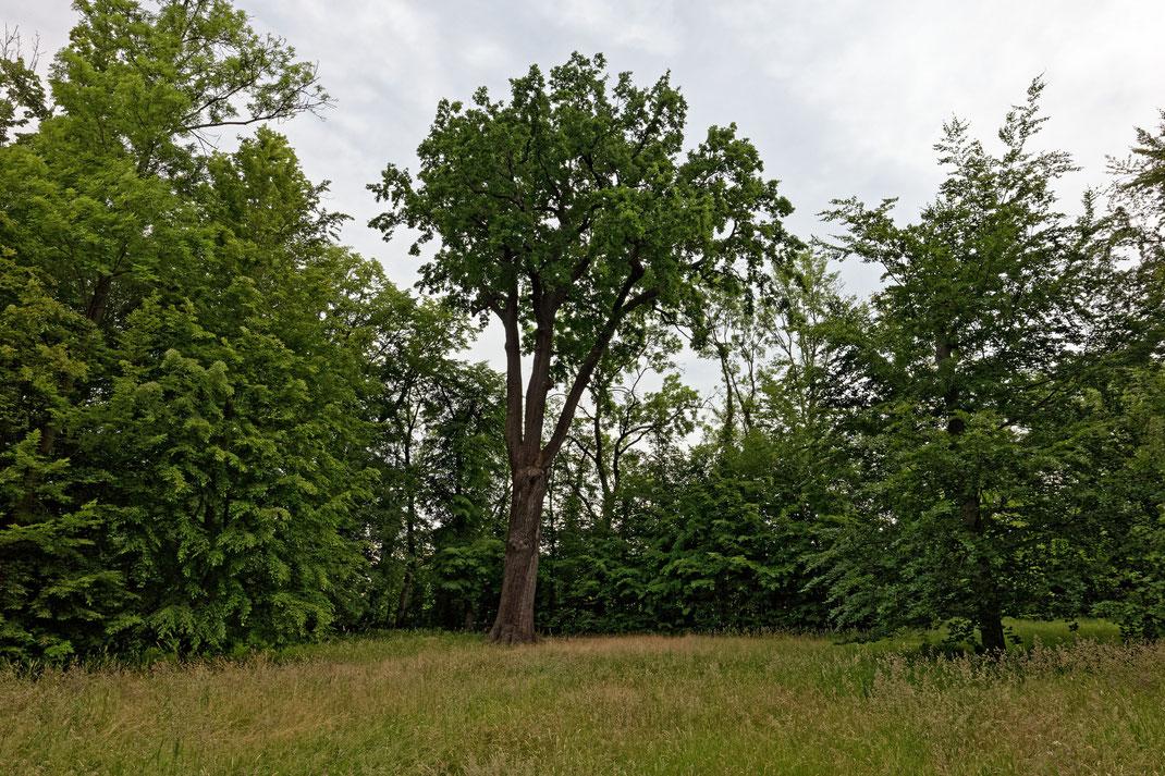 Eiche im Schlosspark Lützschena in Leipzig