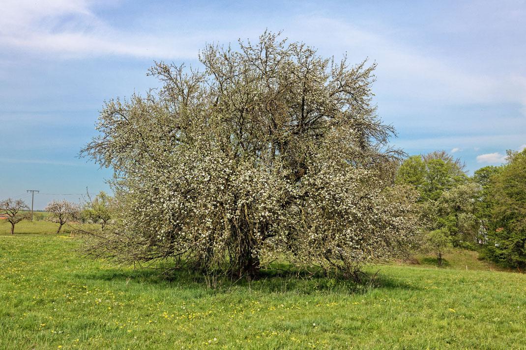 Apfel bei Frauenroth