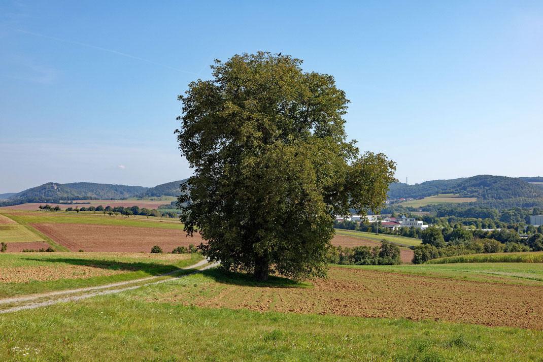 Walnuss bei Westheim