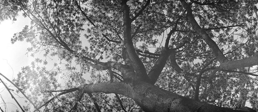 Magnolia, USSR Horizont