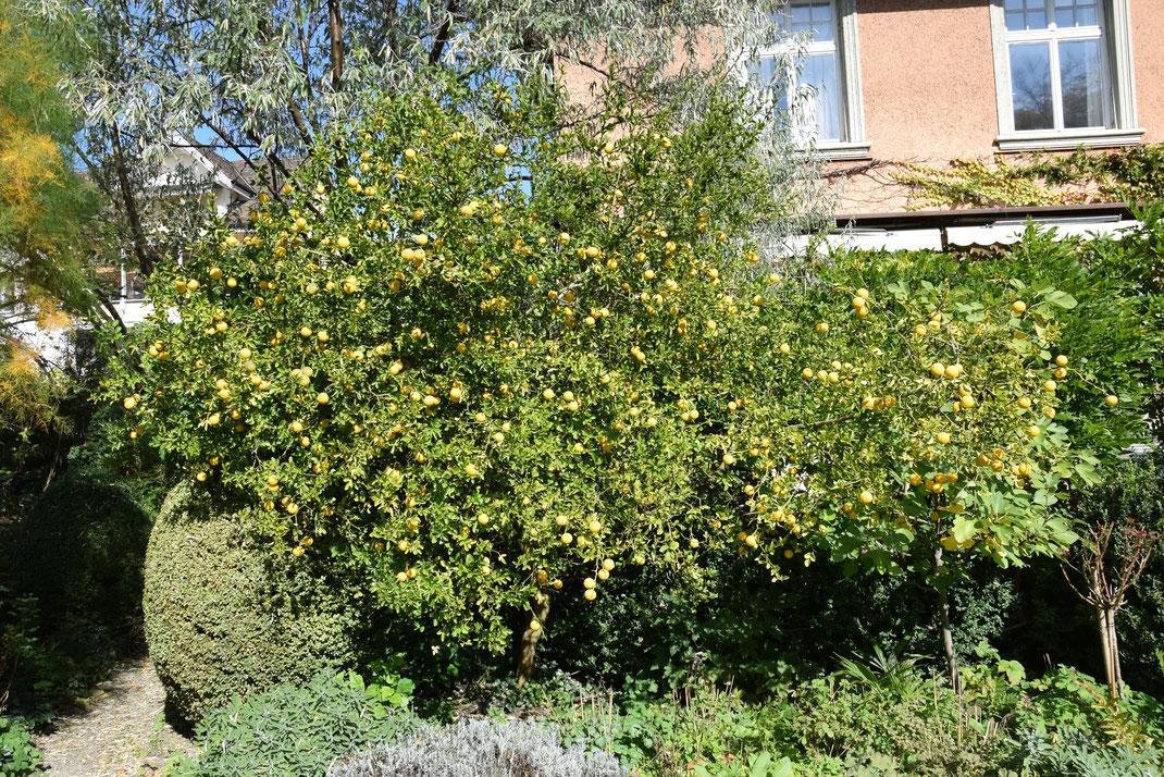 Poncirus trifoliata (Dreiblättrige Bitterorange) über 30 Jahre alt im Garten in Schaffhausen