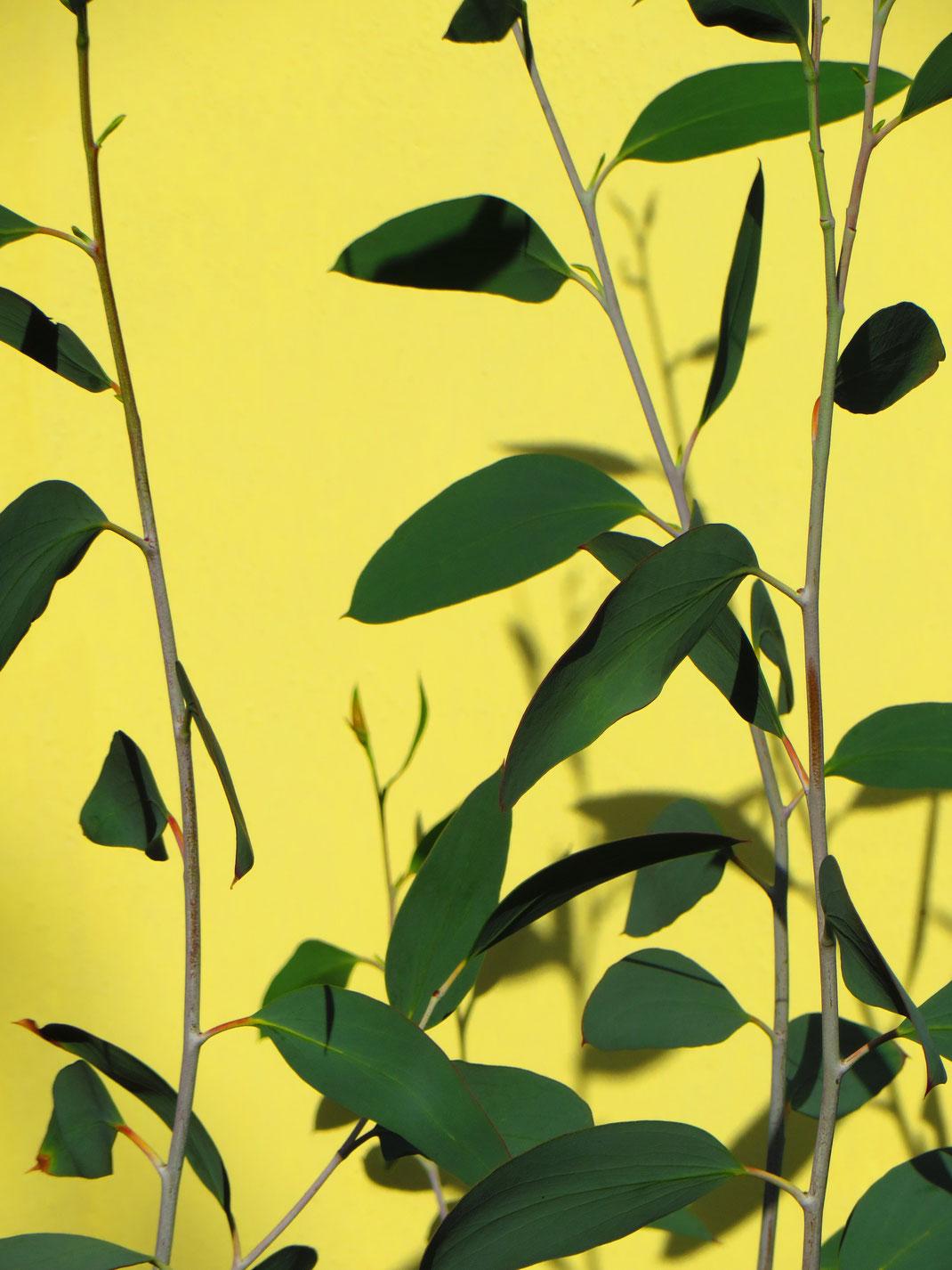 Eucalyptus debeuzevillei vor der gelben Hauswand