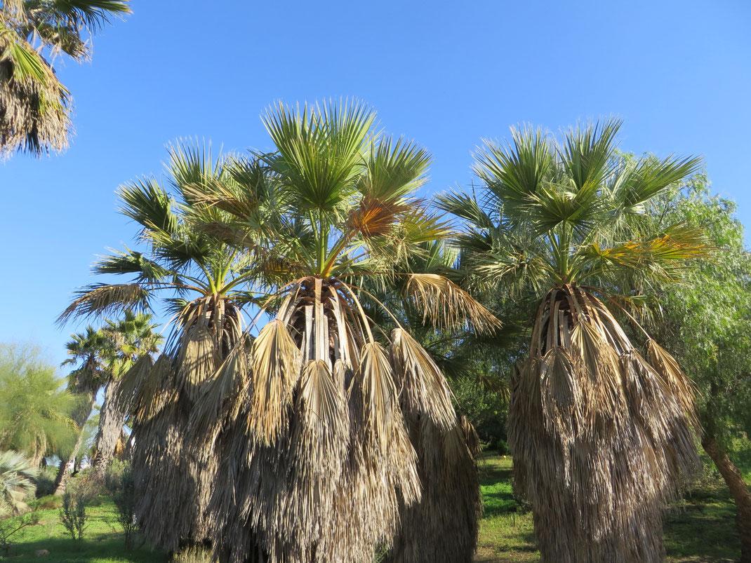 Washingtonia filifera im Boatnischen Garten Barcelona (Foto: Dez. 2014).