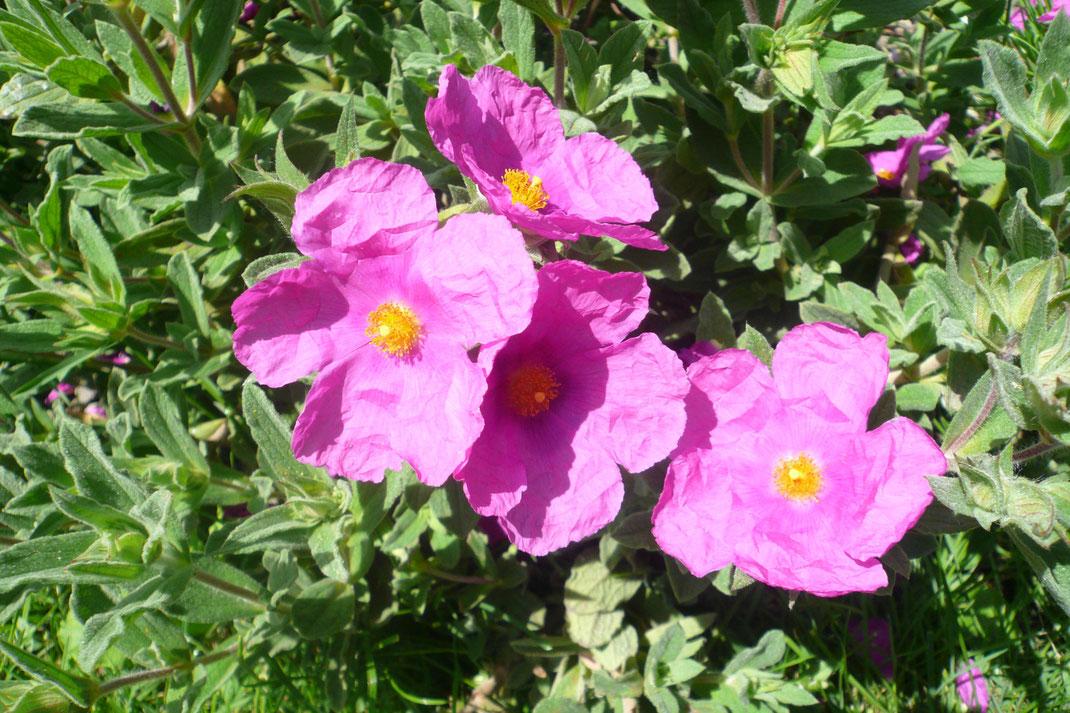 Cistus pulverulentus hat ebenfalls keine Probleme mit den Schaffhauser Wintern