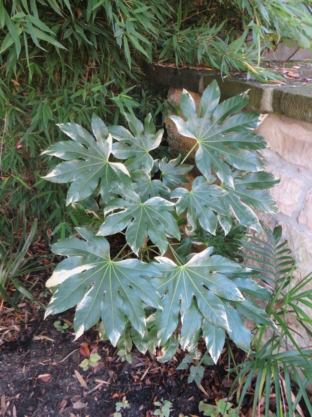 Fatsia japonica 'Variegata' ausgepflanzt in Schaffhausen.