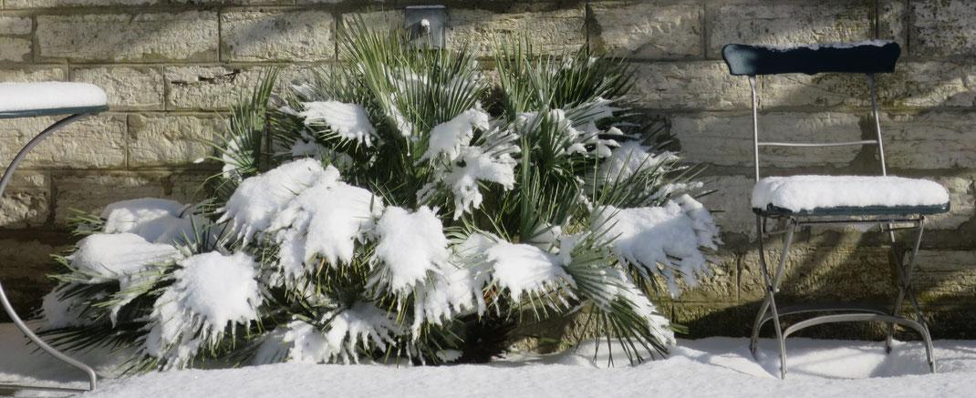 Chamaerops humilis var. argentea (Blaue Zwergpalme) im Schnee im Garten in Schaffhausen