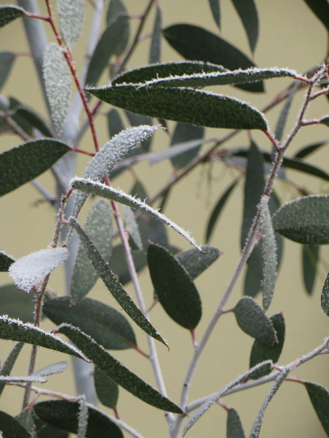 Eucalyptus debeuzevillei mit Reif