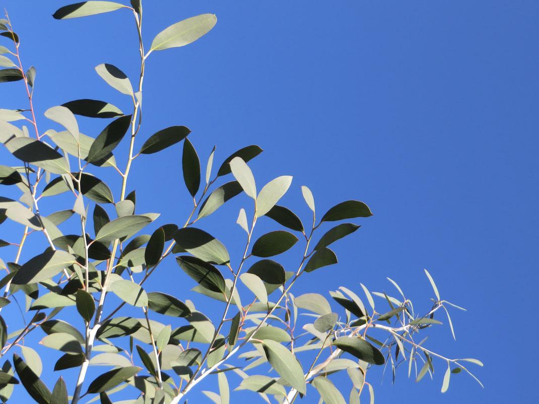 Der Schnee-Eukalyptus will hoch hinaus