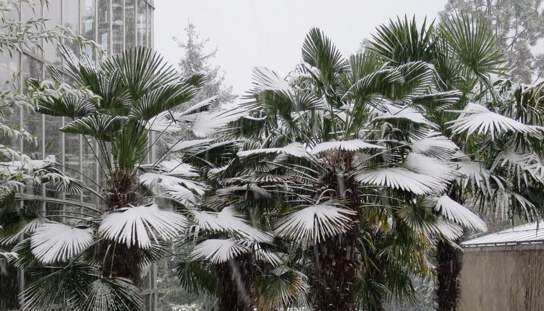 Trachycarpus wagnerianus (Wagners Hanfpalme, links) und Trachycarpus fortunei (Chinesische Hanfpalme, rechts) im Botanischen Garten in Genf im Schnee.
