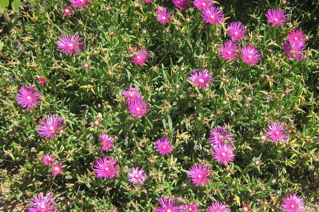 Polster von blühenden Delosperma cooperi im Burgund