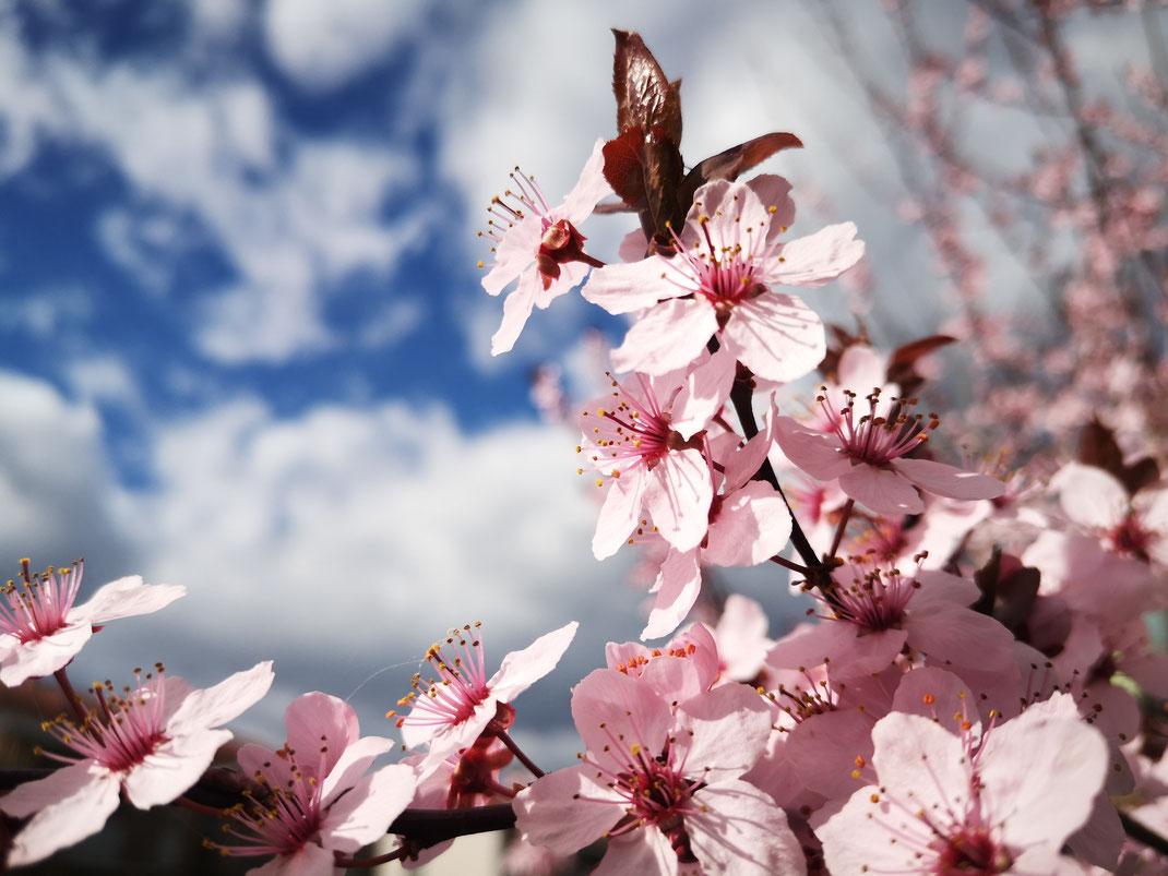 Andrea - Foto 14 - Kirschblüten