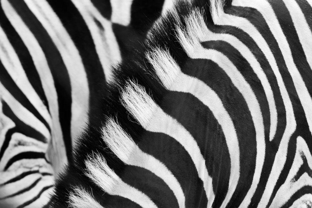 Andrea - Foto 5 - Zebra