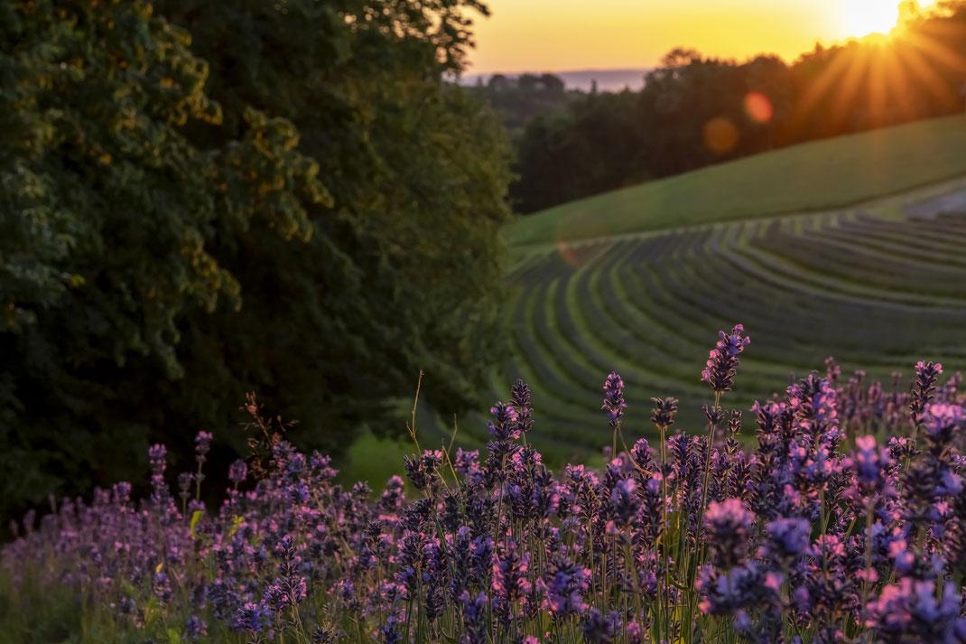 Gerald - Foto 2 - Lavendelfeld