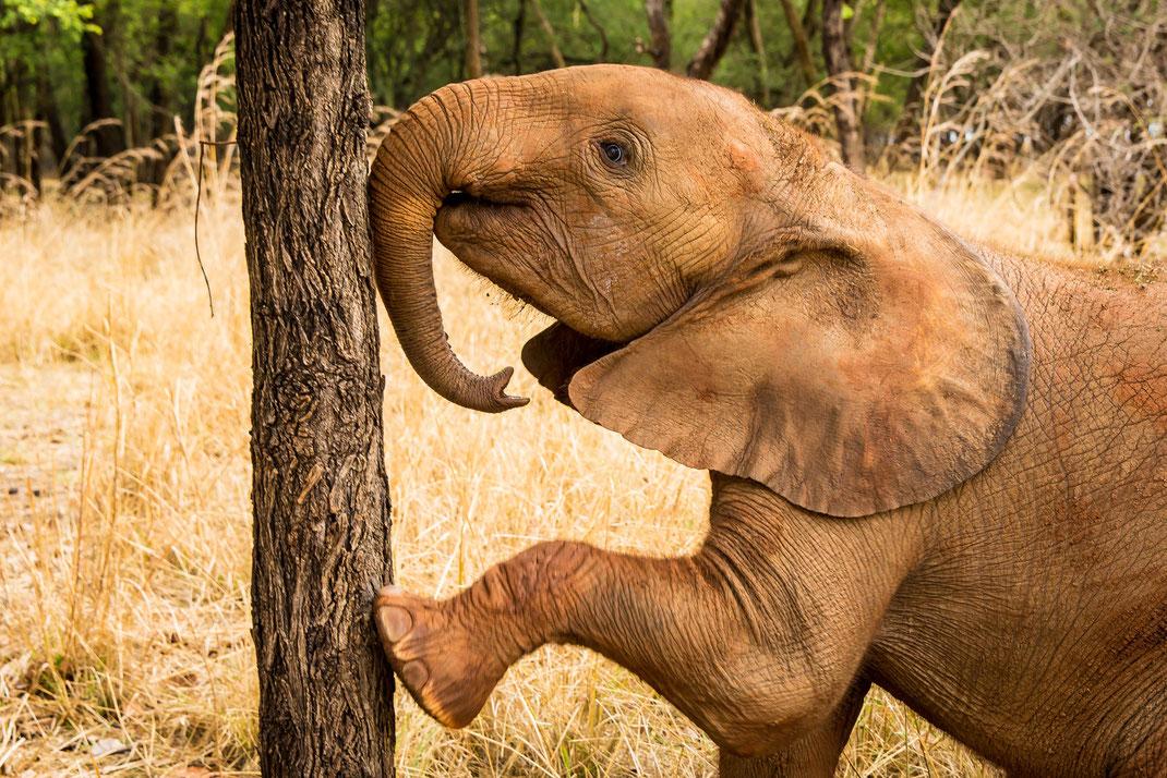 Editorial, Elefanten Waisenkinder in Sambia