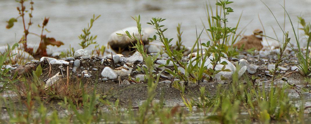Die Insel bot mit der spärlichen Vegetation den Kleinen mehr Deckung..