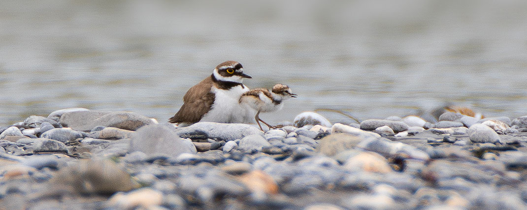 Altvogel mit einem Pulli und zwei weiteren im Bauchgefieder