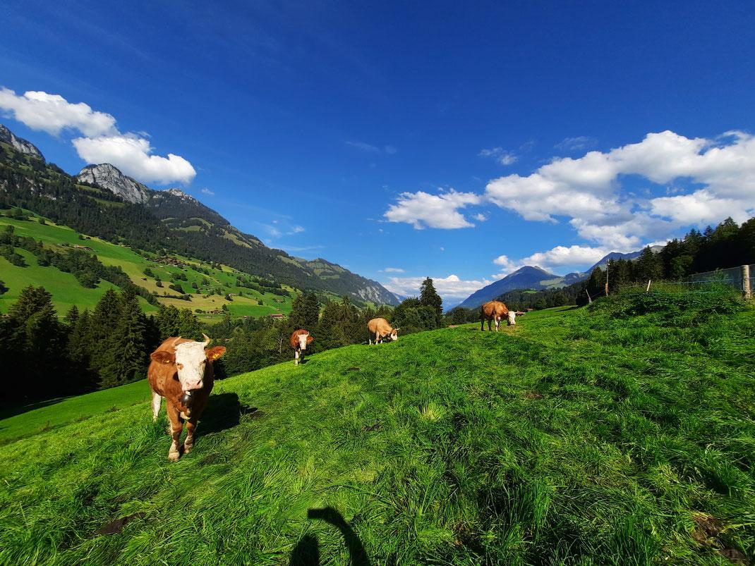 Behornte Simmentalerkühe auf der Weide.