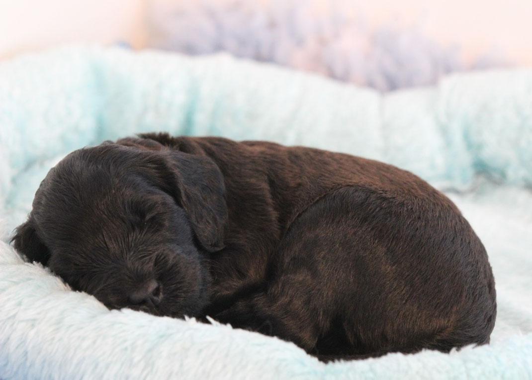 Swiss Jurassic Australian Cobberdog puppy 22 days