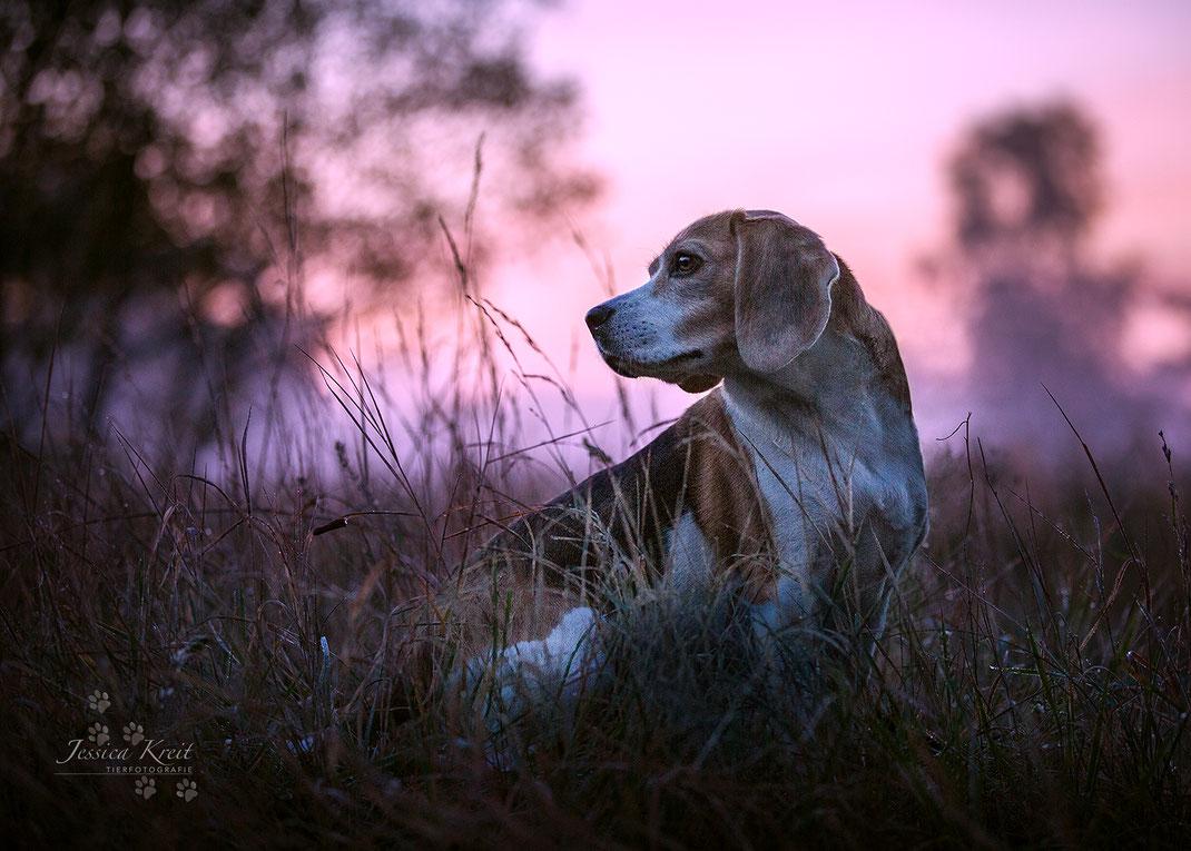 Hundefotografie Beagle im Sonnenaufgang
