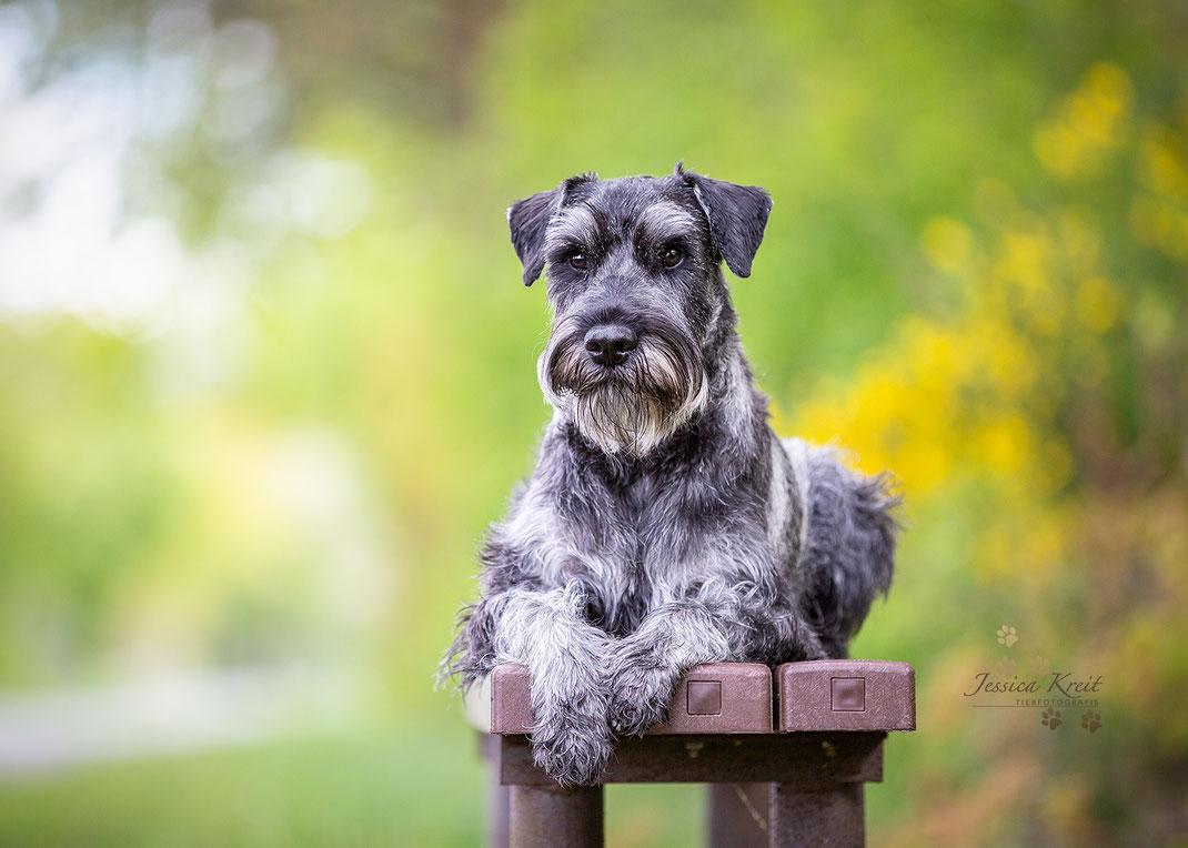 Hundefotografie Mittelschnauzer Pfeffer und Salz im Portrait