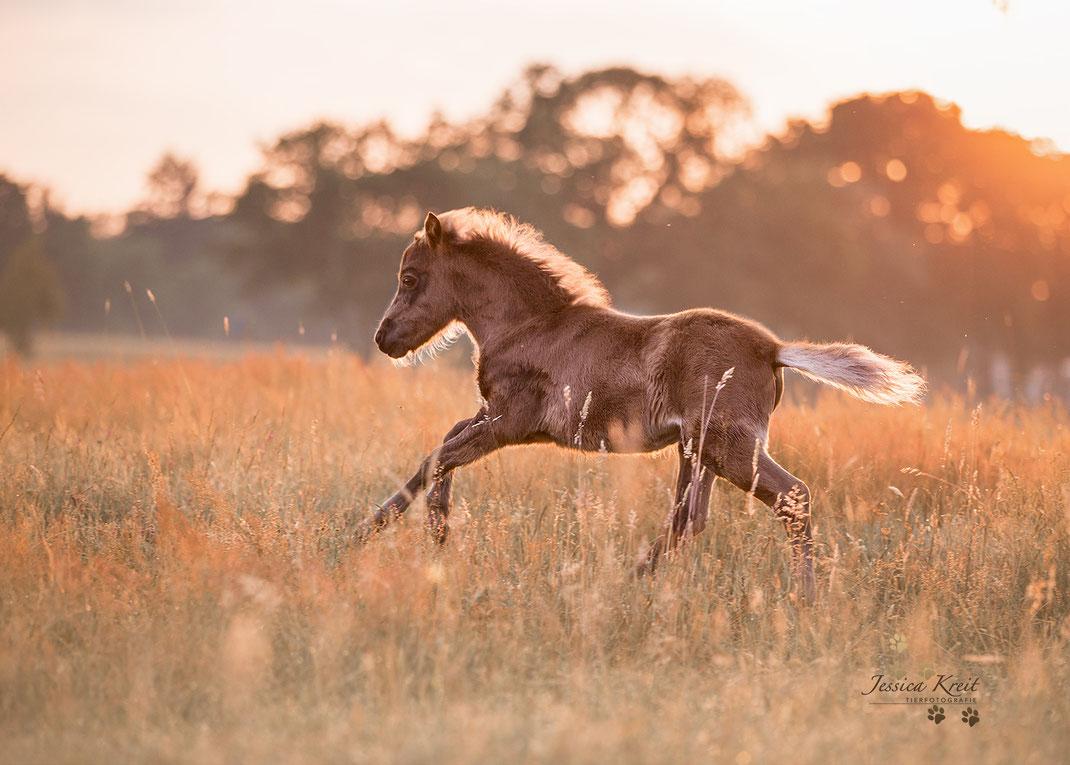 Pferdefotografie Fohlen Shettland Pony im Galopp im Sonnenaufgang