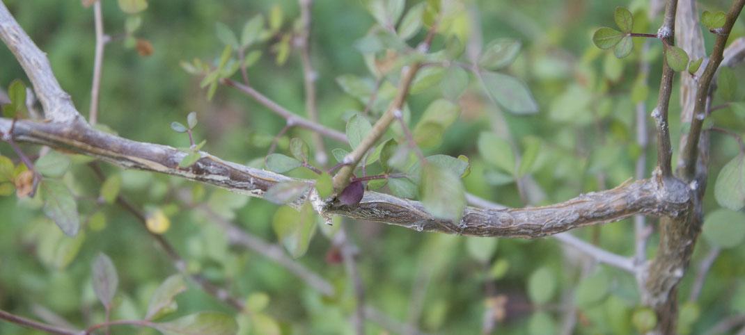 Myrrhe kann auch in Deutschland wachsen, ist aber nur sehr schwer zu ziehen. Im Winter stellt ich sie ins Haus. Im Sommer treibt sie aus und bildet viele grüne Blätter.