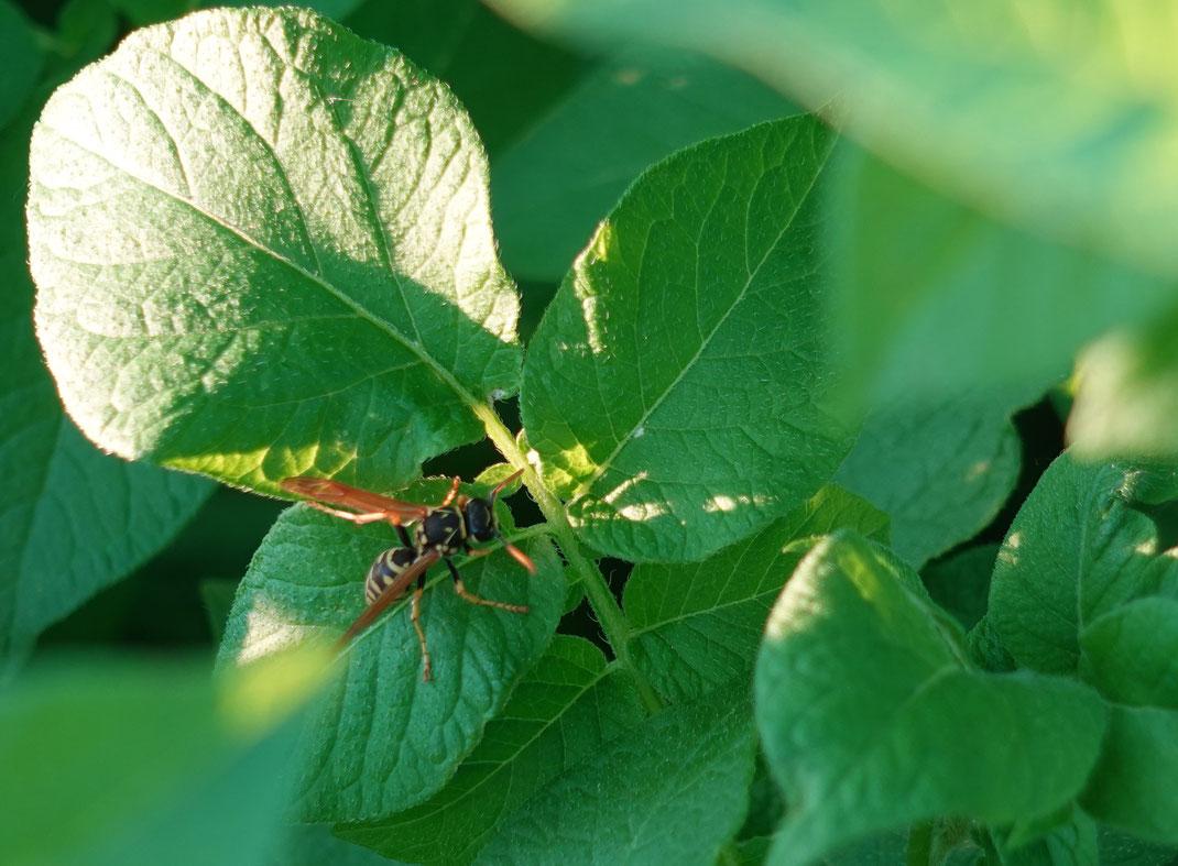 Ich hoff ja auch, dass dieses Wespchen ihren Beitrag zur Schädlingsbekämpfung leistet. Schaut alles sehr sauber aus auf den Blättern, bislang.