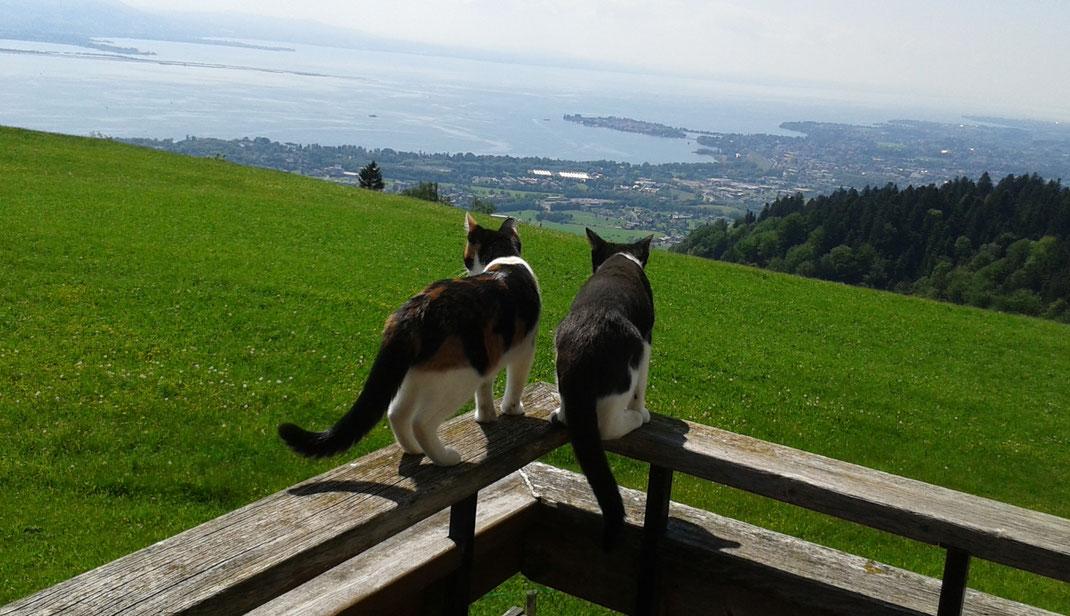 Katzen und Bodenseepanorama