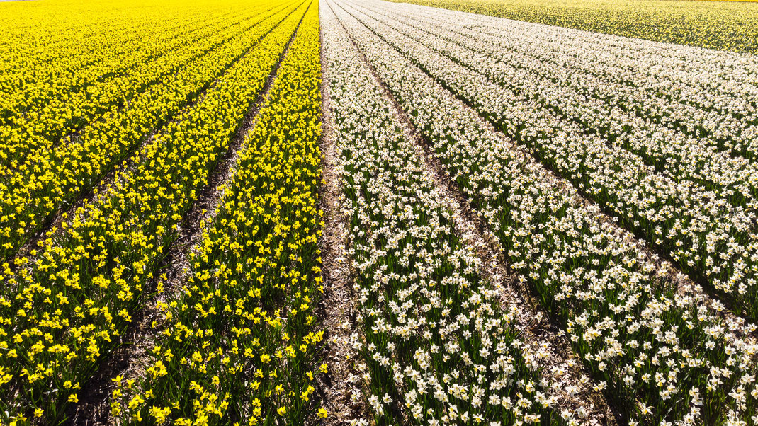 Bulbfields at Lisse